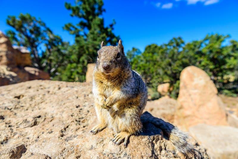 Écureuil de Kaibab chez Grand Canyon, en Arizona du nord, les Etats-Unis images libres de droits