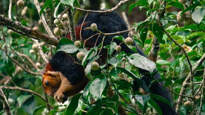 Écureuil de Malabar de géant photo libre de droits