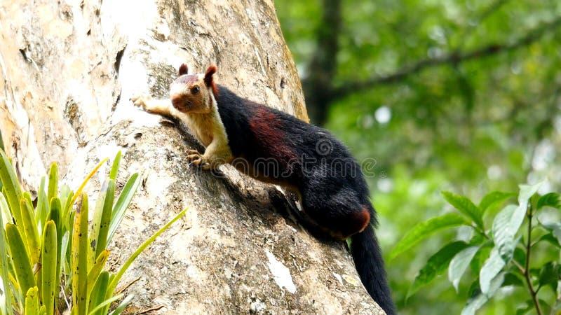 Écureuil de Malabar de géant images libres de droits