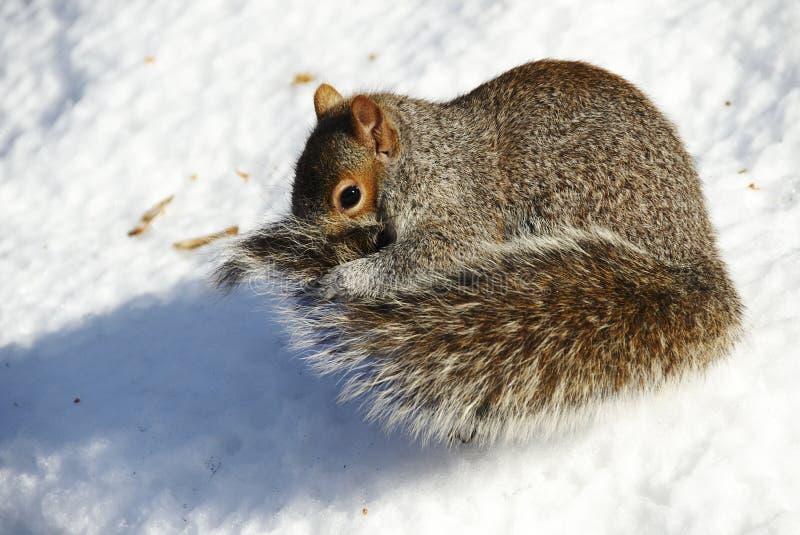 écureuil de neige images stock