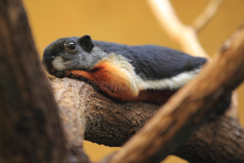 Écureuil de Prevost photo stock