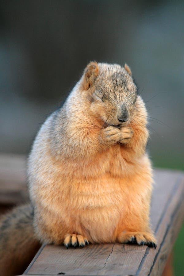 Écureuil de prière photo stock