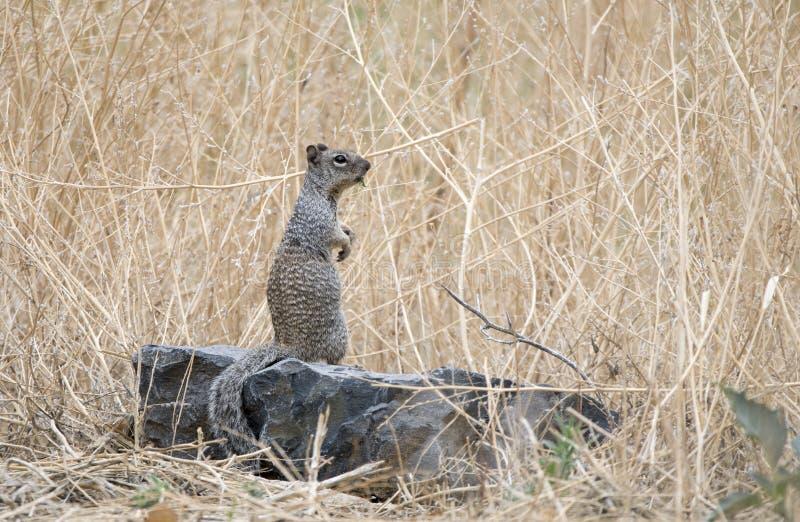 Écureuil de roche, vallons et lac Watson Riparian Park, Prescott Arizona Etats-Unis de granit images libres de droits