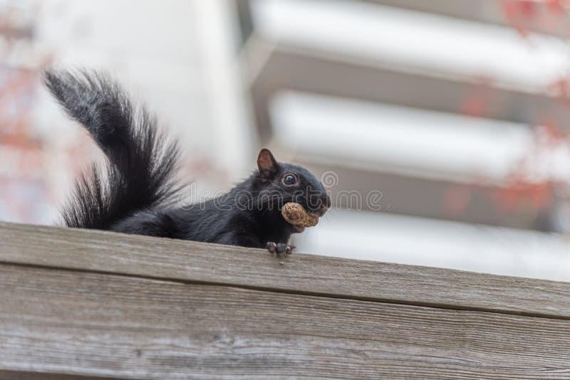 Écureuil de ville avec un écrou photo stock