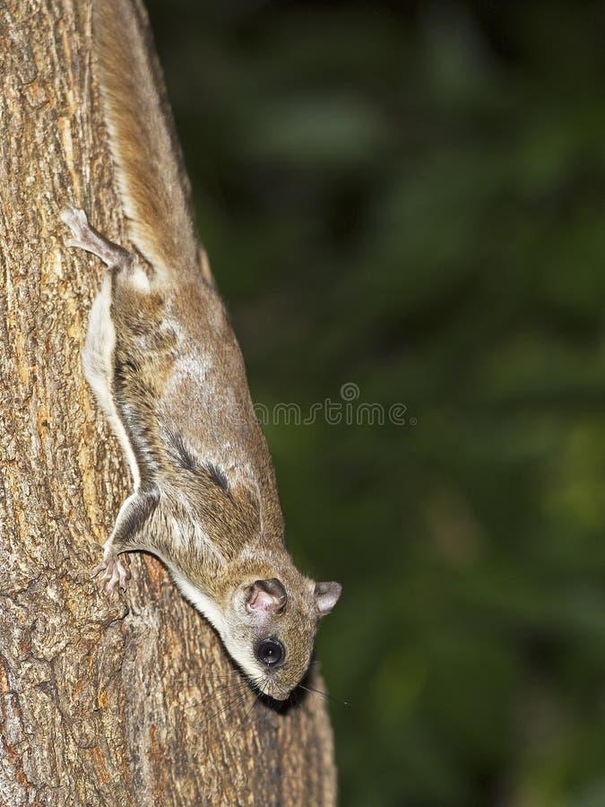 Écureuil de vol méridional photo libre de droits