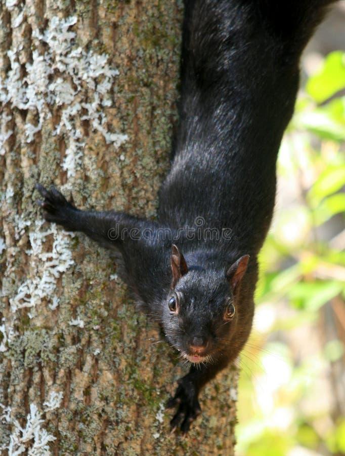 Écureuil descendant arbre photos libres de droits