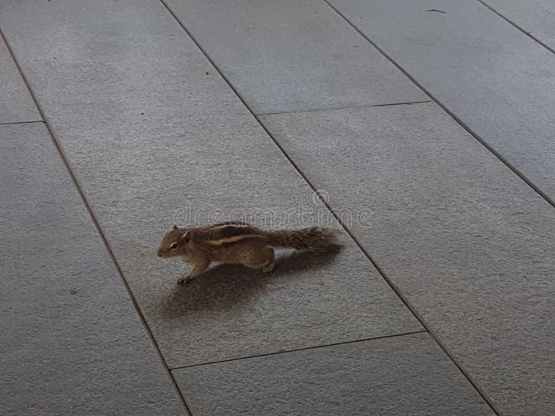 Écureuil en café d'air ouvert sur Leela Hotel Kovlam, Kerala photographie stock libre de droits