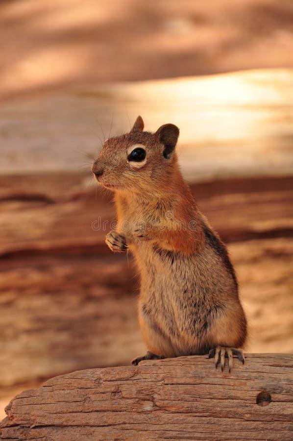 Écureuil en canyon grand photo stock