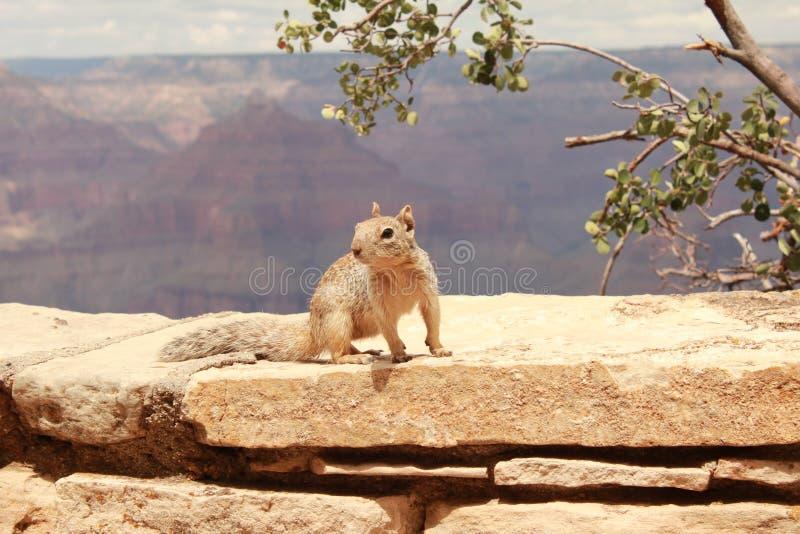 Écureuil en gorge grande photo libre de droits