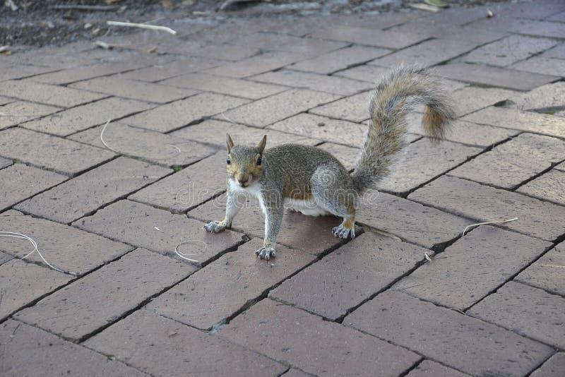 Écureuil en parc de la savane en Géorgie Etats-Unis images stock