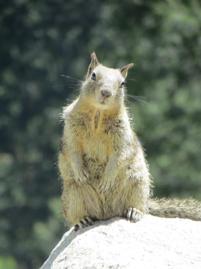 Écureuil en parc national de Yosemite photos libres de droits