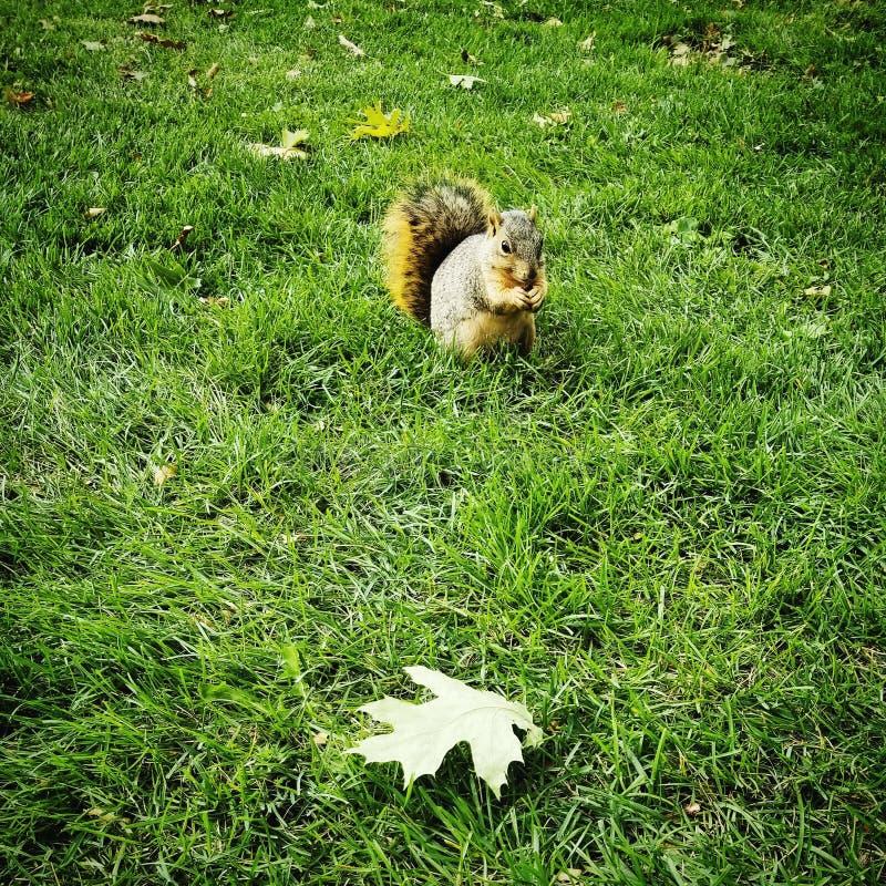 Écureuil et feuille photo libre de droits