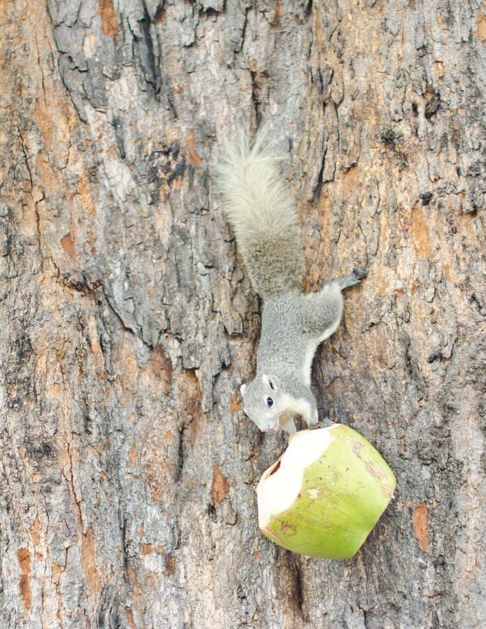 Écureuil et la noix de coco. photo stock