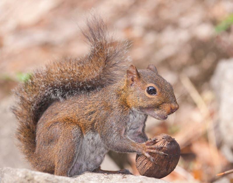 Écureuil et noix. photos libres de droits