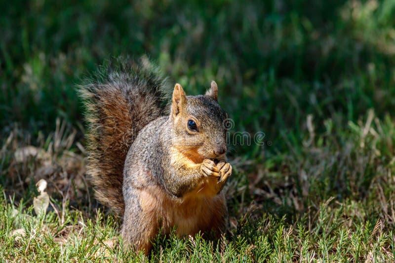 Écureuil forageant pour des écrous dans l'herbe photos stock