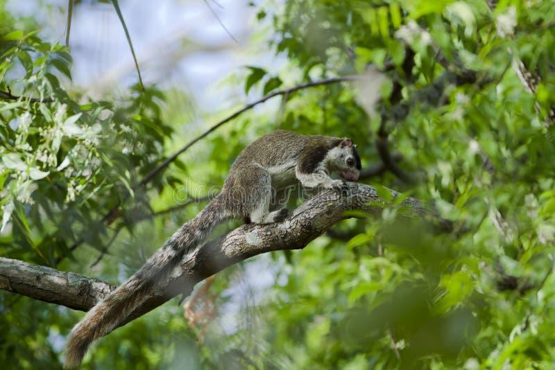 Écureuil géant grisonnant dans Minneriya, Sri Lanka photographie stock libre de droits
