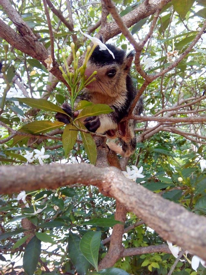 Écureuil géant grisonnant de bébé sauvage au Sri Lanka images libres de droits