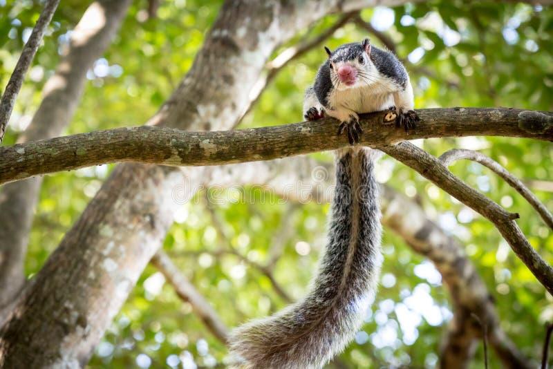 Écureuil géant grisonnant drôle photo libre de droits
