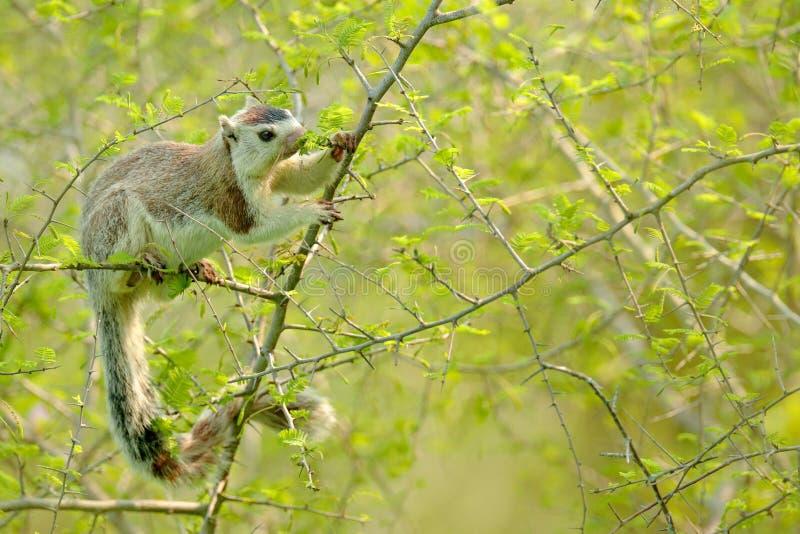 Écureuil géant grisonnant, macroura de Ratufa, dans l'habitat de nature Grand écureuil se reposant sur l'arbuste épineux Bel anim photographie stock libre de droits