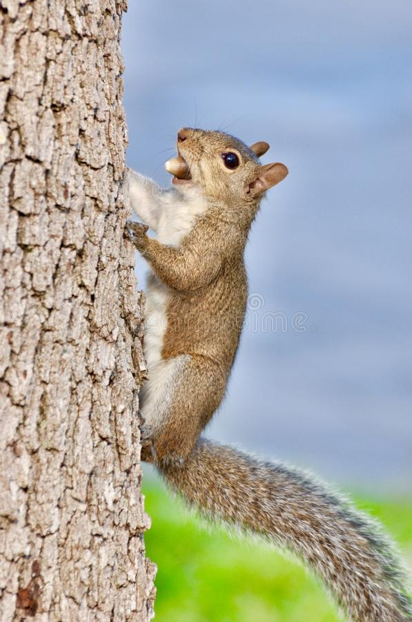 Écureuil grimpant à un arbre photos stock