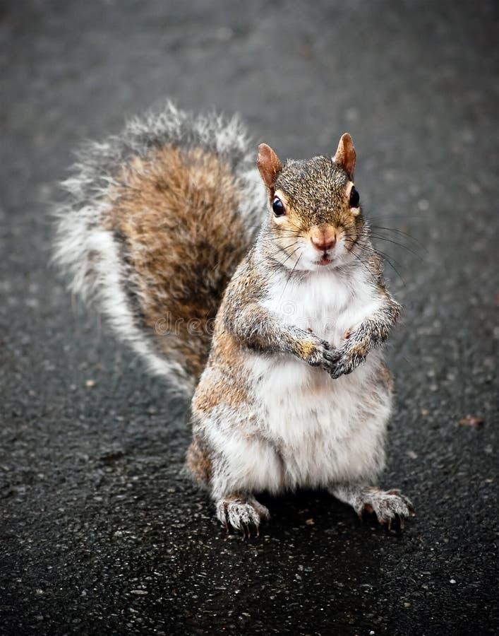 Écureuil gris avec la fourrure rouge sur le trottoir image stock