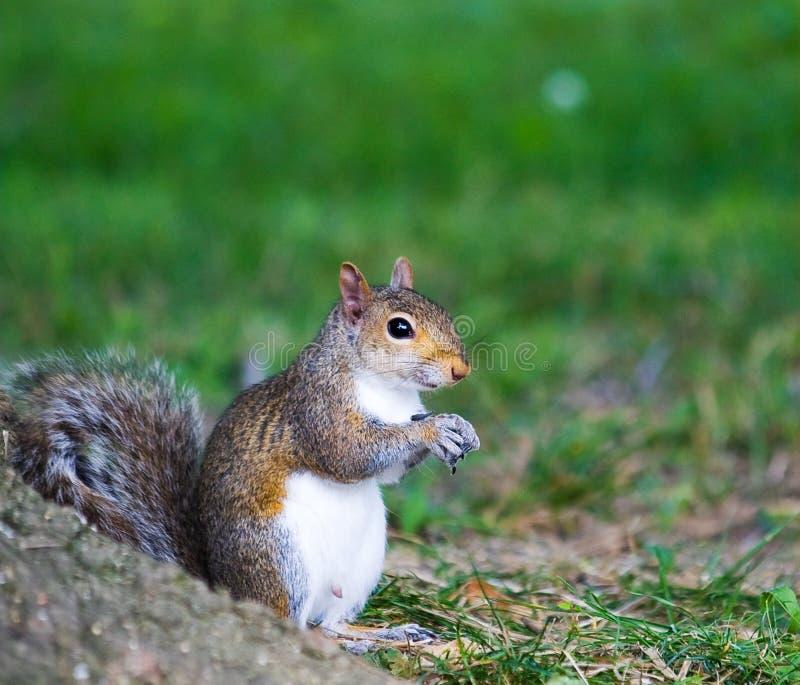 Écureuil gris mâle images stock