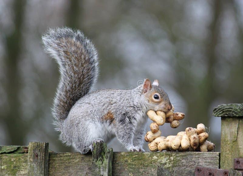 Écureuil gris volant des arachides signifiées pour des oiseaux. photographie stock