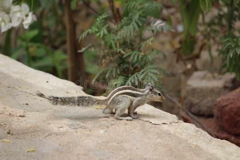 Écureuil jouant sur la terre photos libres de droits