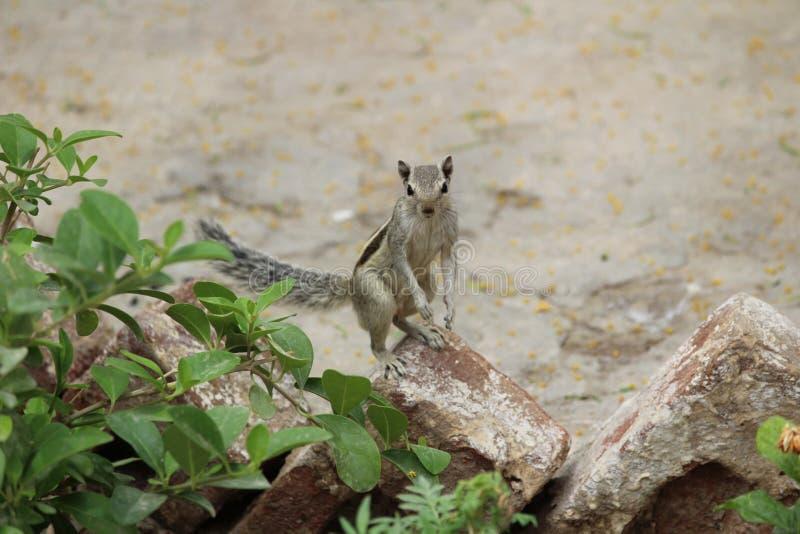 Écureuil jouant sur la terre image libre de droits