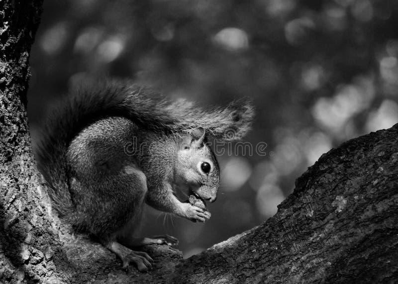 Écureuil mangeant dans un arbre photos stock