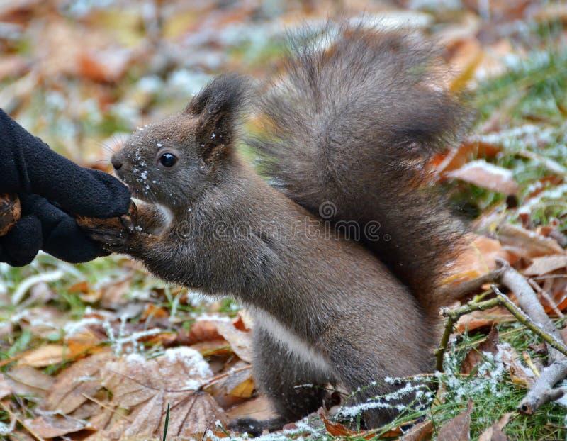 Écureuil mangeant de la main photographie stock libre de droits
