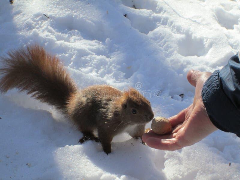 Écureuil mangeant de la main images libres de droits