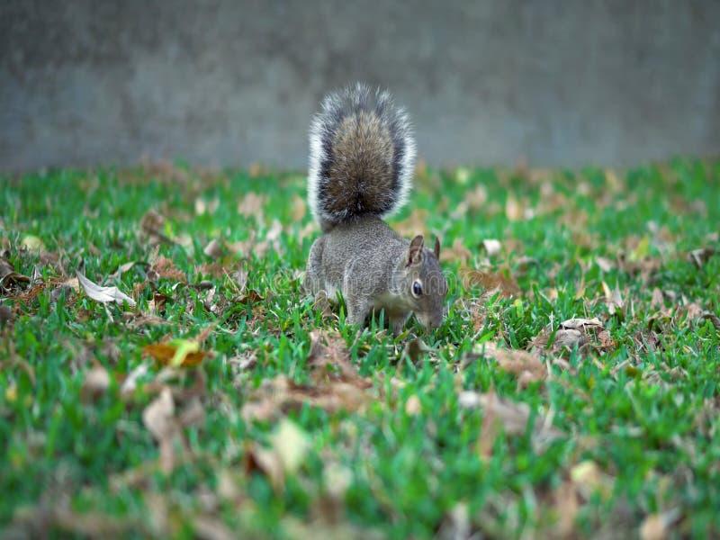 Écureuil mangeant l'écrou Écureuil rouge mangeant un écrou photographie stock libre de droits