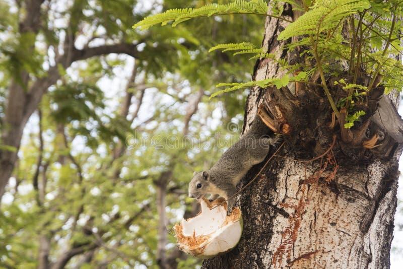 Écureuil mangeant la noix de coco sur l'arbre photographie stock libre de droits