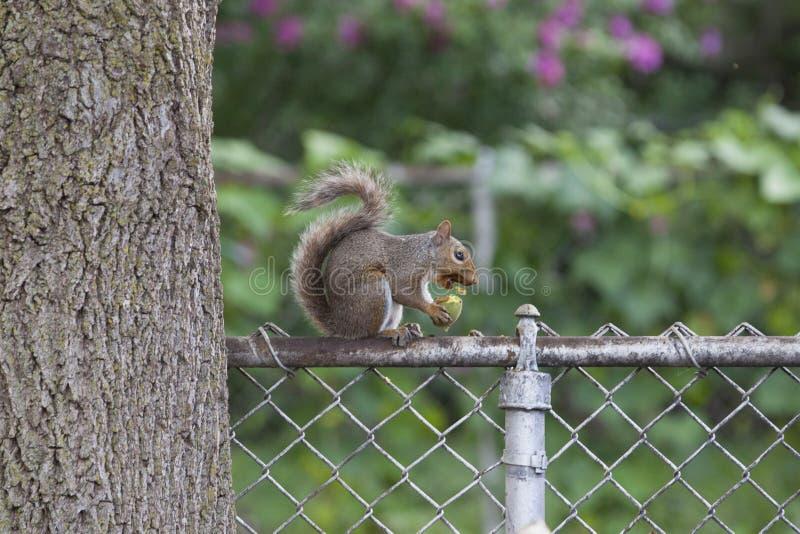 Écureuil mangeant sur la barrière de maillon de chaîne photos libres de droits