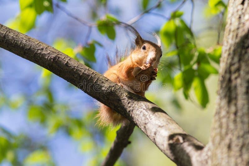 Écureuil mangeant une noix images libres de droits