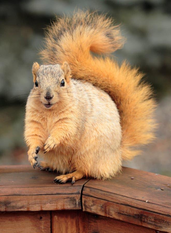 Écureuil mignon photographie stock libre de droits