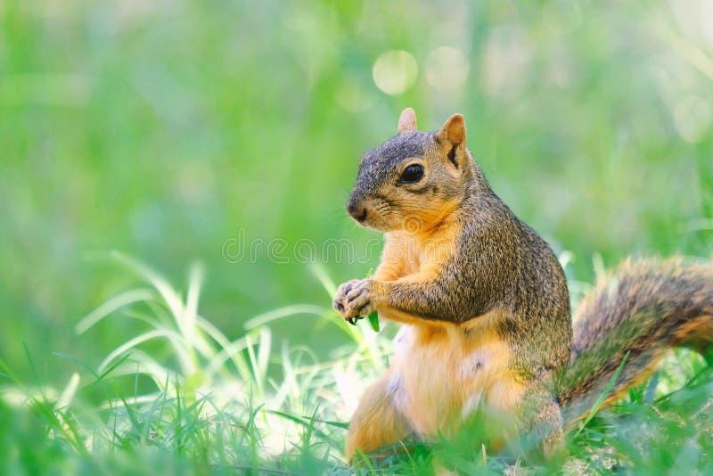 Écureuil mignon dans l'herbe images libres de droits