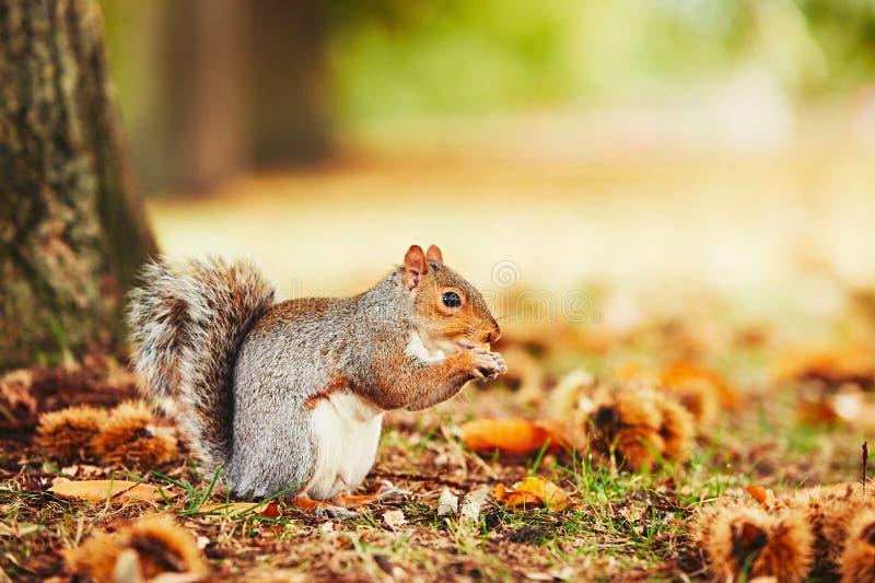 Écureuil mignon dans la scène d'automne photos libres de droits