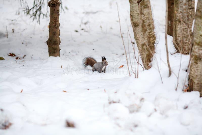 Écureuil mignon regardant la scène d'hiver, le parc neigeux ou la forêt photographie stock