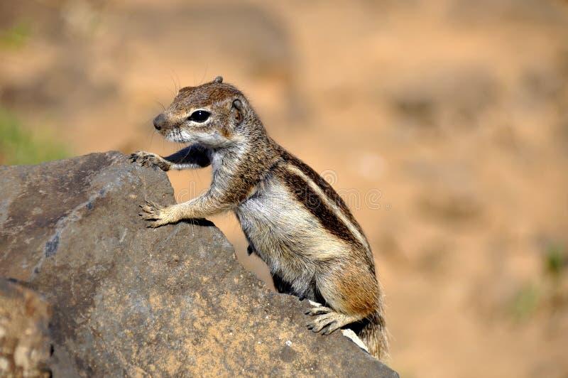 Écureuil mignon sur une roche photographie stock