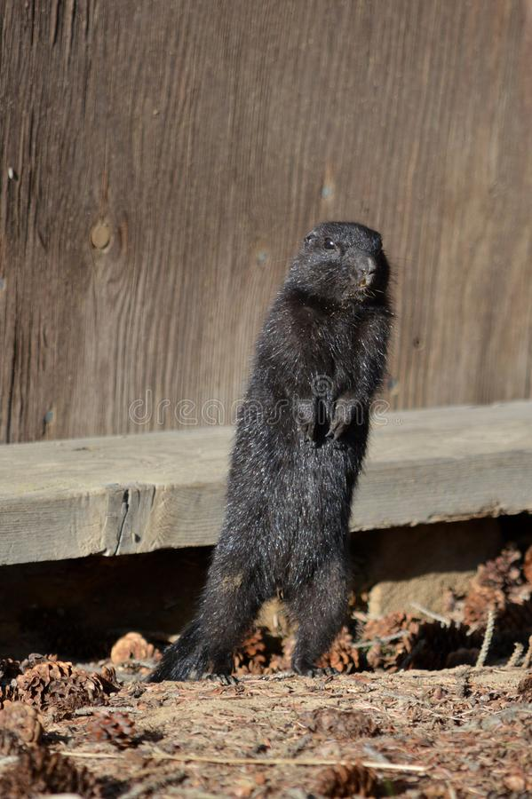 Écureuil moulu arctique de Melanistic photo libre de droits