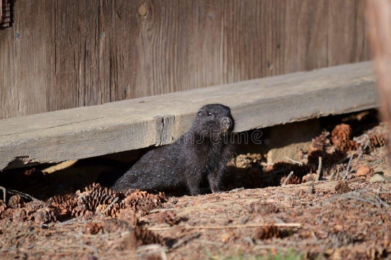 Écureuil moulu arctique de Melanistic photos stock