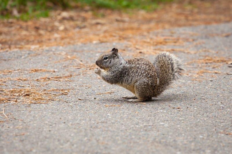 Écureuil moulu de la Californie en parc national de Yosemite, dehors images libres de droits