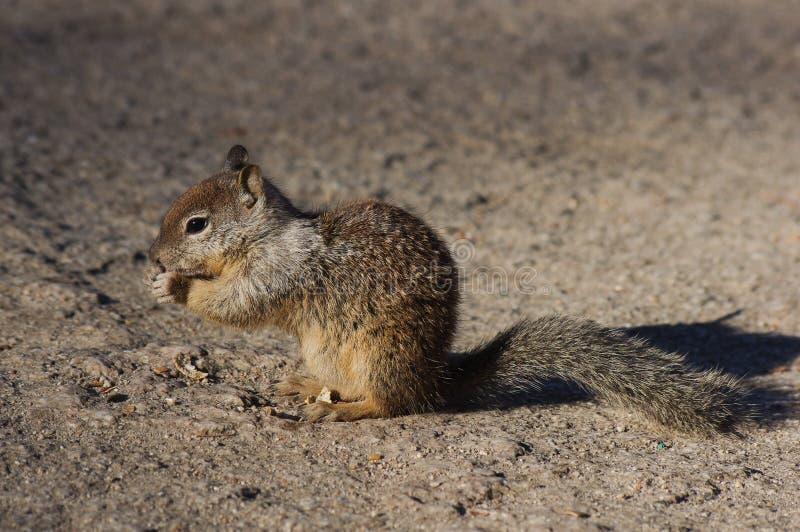 Écureuil moulu de la Californie en parc national de Yosemite photo libre de droits