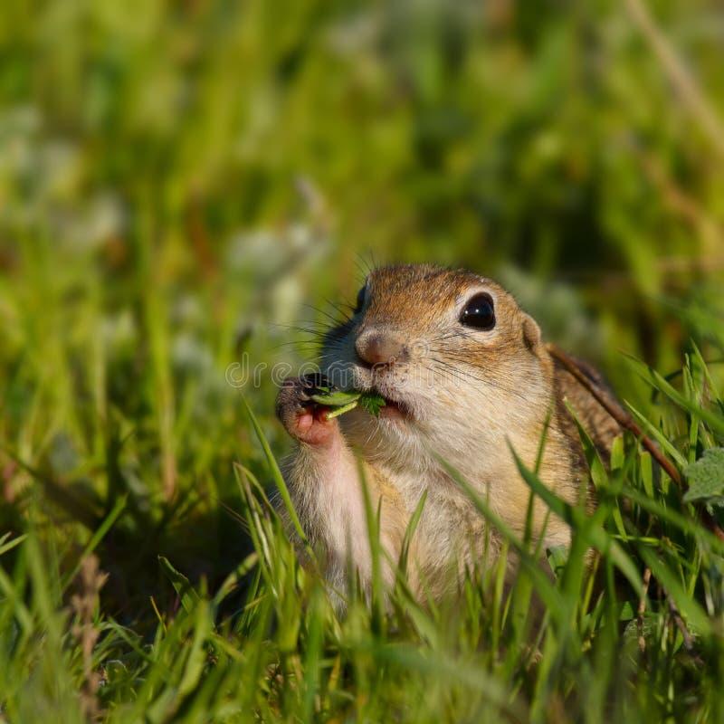 Écureuil moulu drôle au sol avec une feuille dans sa bouche photos stock