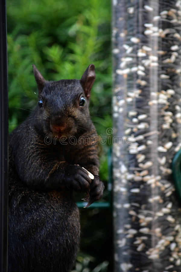 Écureuil noir images stock