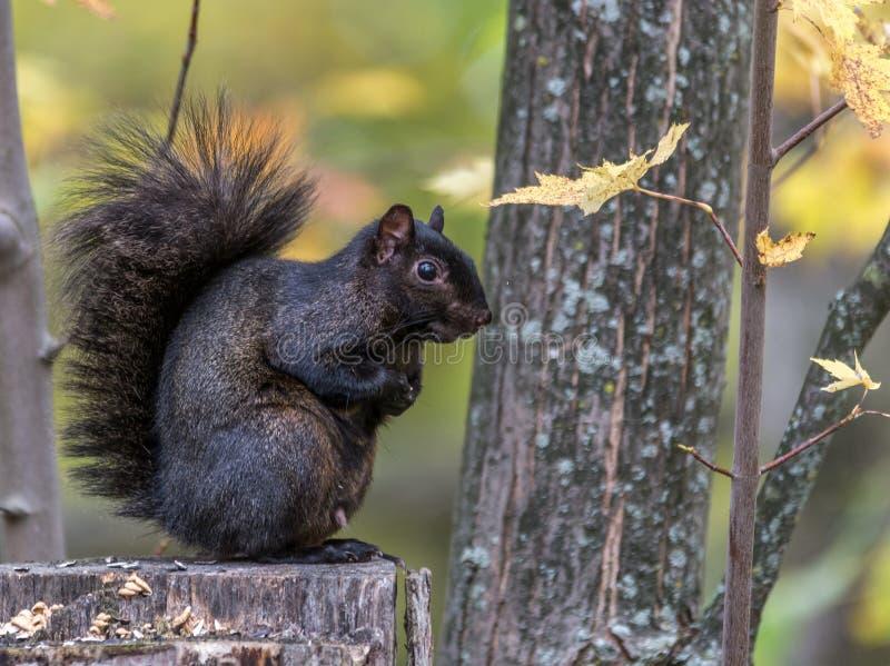 Écureuil noir dans l'automne, marais de Tylee, Rosemere, Québec, Canada photographie stock