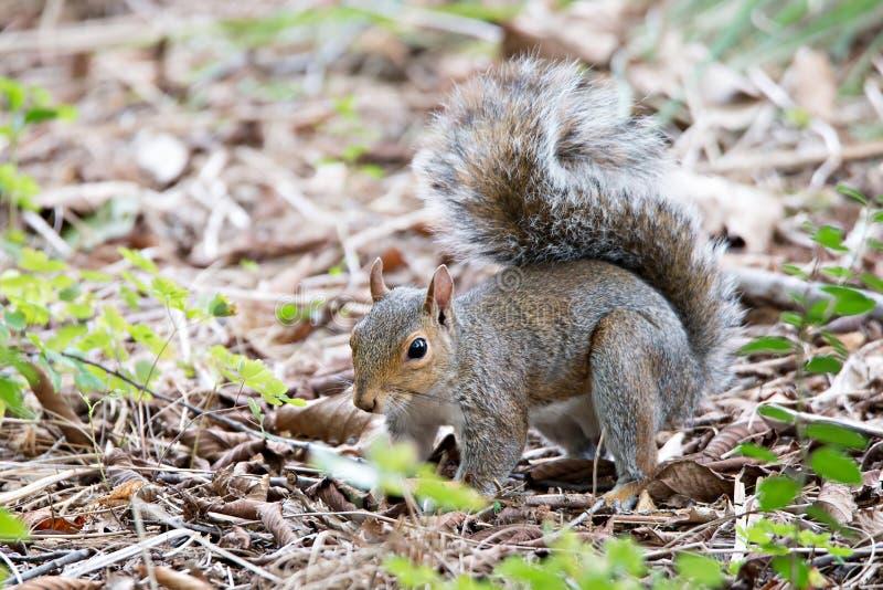 Écureuil omnivore de rongeur sur la terre photographie stock libre de droits