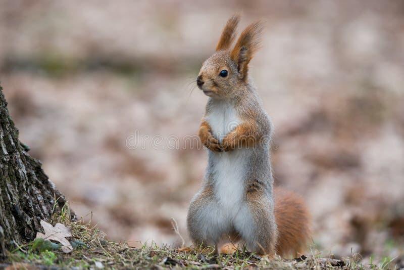Écureuil pelucheux ordinaire Supports vulgaris de Sciurus eurasien drôle d'écureuil rouge en Autumn Foliage Near un arbre et semb photographie stock